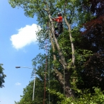 Elm tree dismantle Edwalton Nottingham
