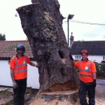 Horse chestnut tree dismantle in Doncaster,