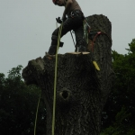 Oak tree dismantle Bulcote Nottingham,